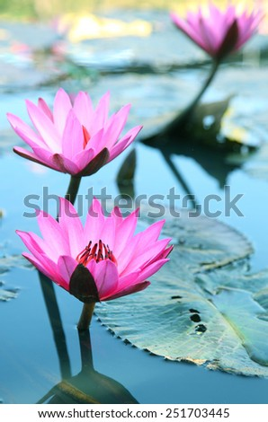 Beauty water lilly flower.Pink Lotus.  - stock photo