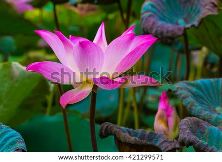 Beauty water lilly  flower,pink lotus in pond. - stock photo