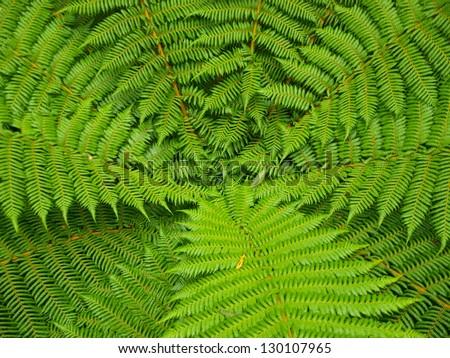 Beautyful leaf of fern (Cyathea lepifera) are regular array. - stock photo