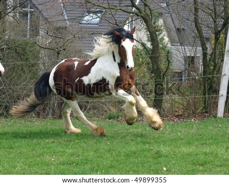 beautyfull bay and white irish cob - stock photo