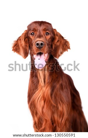 Beautyfull dog: Irish Red Setter - isolated over a white background - stock photo
