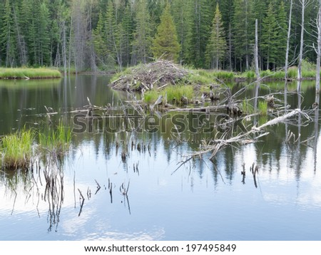 Beaver  Castor canadensis  lodge den home in boreal forest  taiga  wetlands of Alberta  foothills to Rocky Mountains  made from lots of sticks and mud - stock photo