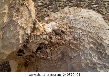 Beaver chewed wood, deatailed photo with blurred background - stock photo