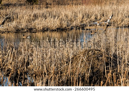 Beaver lodge and geese - stock photo