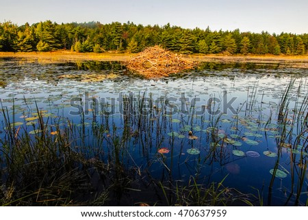 Beaver lodge in calm lake in Arcadia National Park, Maine.