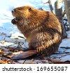 beaver  north american