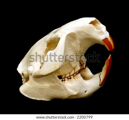Beaver Skull - stock photo
