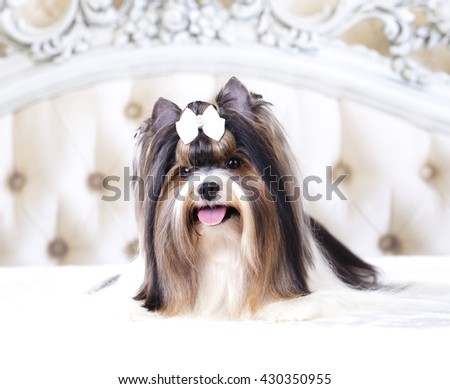 Beaver Yorkshire Terrier - stock photo