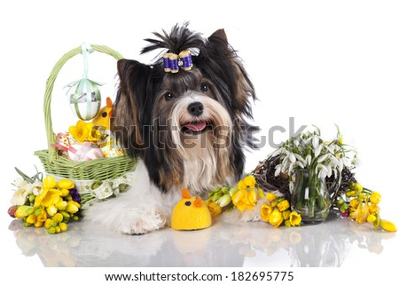 beaver yorkshire terrier and  easter eggs - stock photo