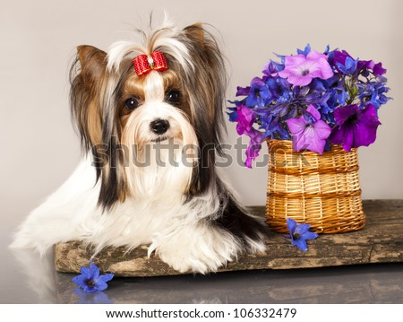 Beaver Yorkshire Terrier  and flowers - stock photo