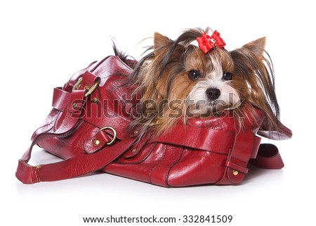 Beaver Yorkshire Terrier dog sitting in a bag (Isolated on white) - stock photo