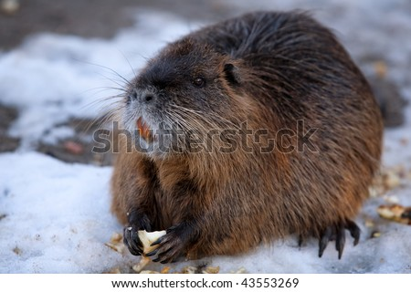 BEAVERS ARE KNOWN FOR BUILDING DAMS, CANALS, AND LODGES, HOMES. THEY ARE THE SECOND-LARGEST RODENT IN THE WORLD