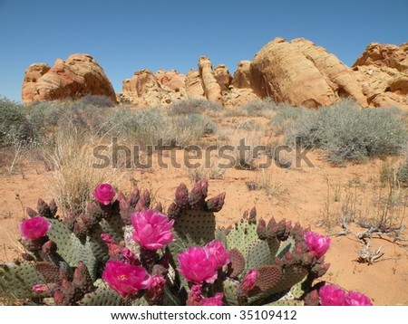 Beavertail Cactus in Valley of Fire state park, Nevada
