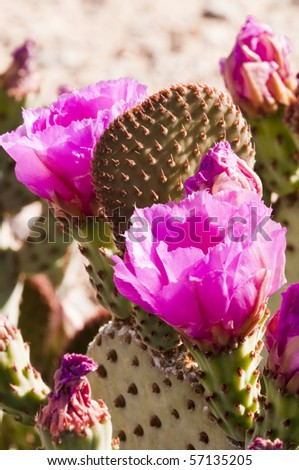 Beavertail prickly pear cactus blossoms blooming in the spring - stock photo