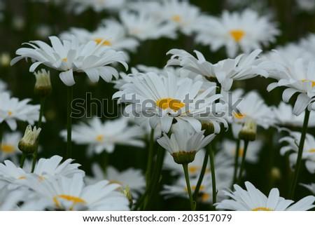 Becky Shasta Daisy flowers - stock photo