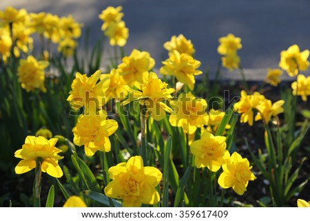 Bed of beautiful yellow Daffodils - stock photo