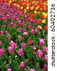 Bed of colorful tulips. Nature composition. - stock photo