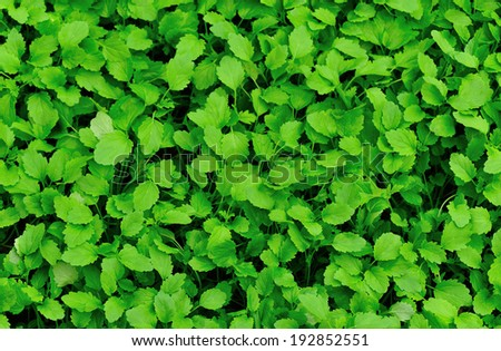 bed of motherwort plants   - stock photo