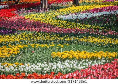 Bed of Multicolored tulips - stock photo