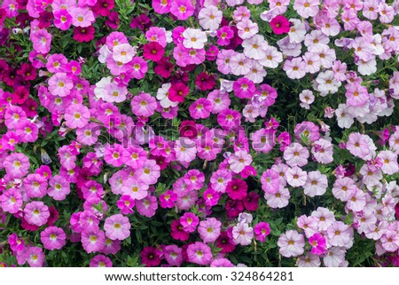 Bed of pink, white and purple impatiens - stock photo