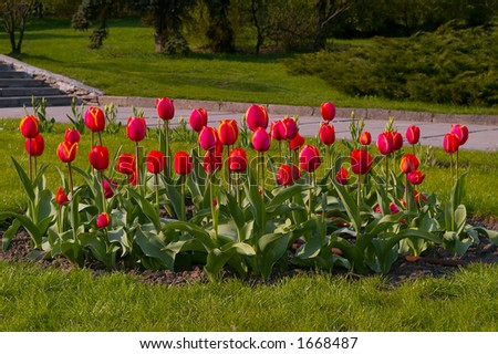 bed of red tulips - stock photo