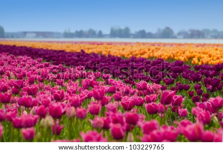 bed of tulips field - stock photo