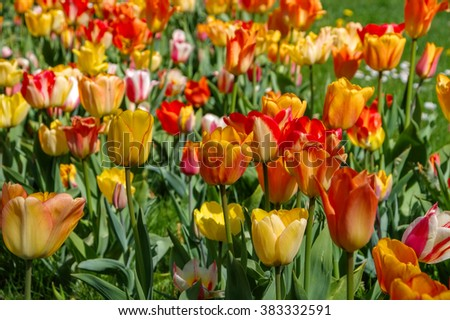 bed of tulips in red and yellow in springtime
