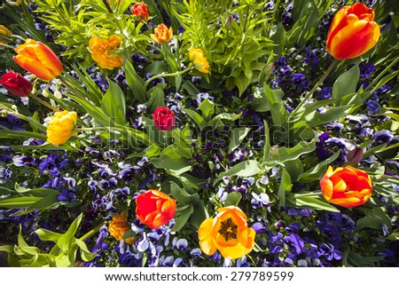 bed of violet violas and orange and yellow tulips in spring - stock photo