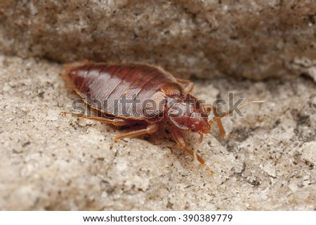 Bedbug, Bug, parasite, Czech Republic - stock photo