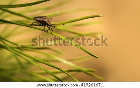 Bedbug on needles of pine - stock photo