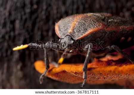Bedbug on orange fungus close-up - hemiptera - stock photo