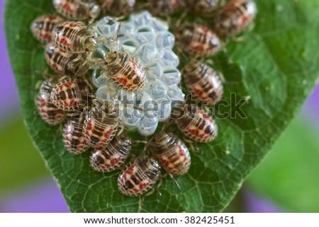 Bedbug puppies. - stock photo