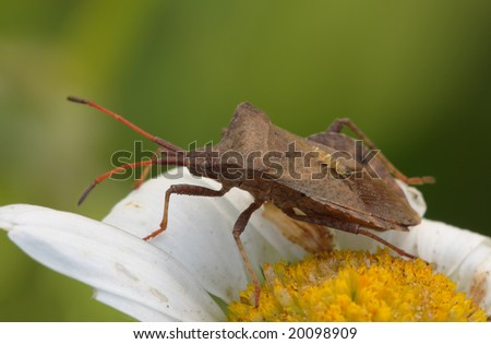 Bedbug sits on a flower. Insecta /Hemiptera /Coreidae /Coreus marginatus - stock photo