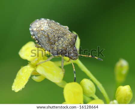 Bedbug sits on a flower. Insecta \ Hemiptera \ Pentatomidae \Eysarcoris aeneus - stock photo