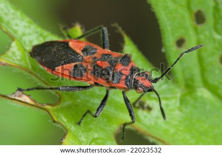 Bedbug sits on a leaf. Insecta /Hemiptera /Pyrrhocoridae /Pyrrhocoris apterus - stock photo