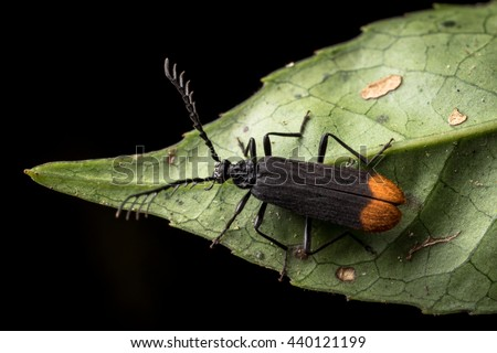 Bedbug sits on a leaf. Insecta /Hemiptera /Pyrrhocoridae /Pyrrhocoris apterus /the firebug in natural habitat, Bug in Dalat Vietnam - stock photo