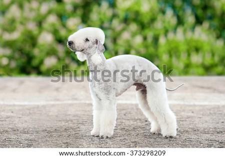 Bedlington terrier dog - stock photo