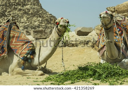 Bedouin with two camels, pyramids on the background, Giza, Egypt. - stock photo