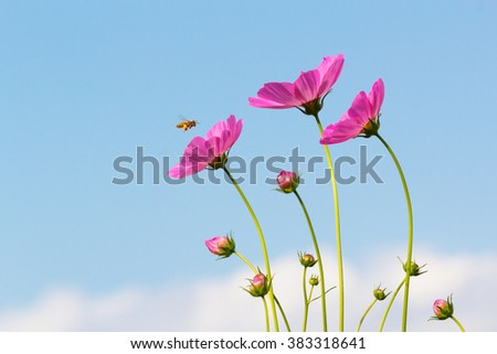 Bee and cosmos flowers with blue sky. - stock photo