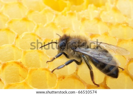 Bee and honeycombs - stock photo