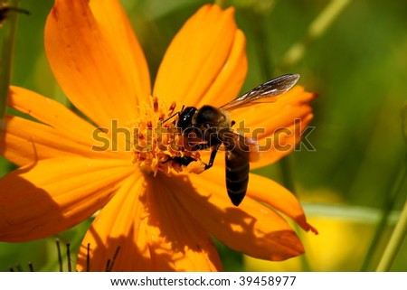 Bee and Mexican daisy (Cosmos)