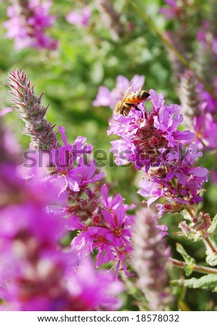 bee and purple flowers - stock photo