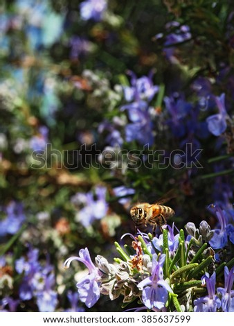 Bee and rosemary flowers   - stock photo