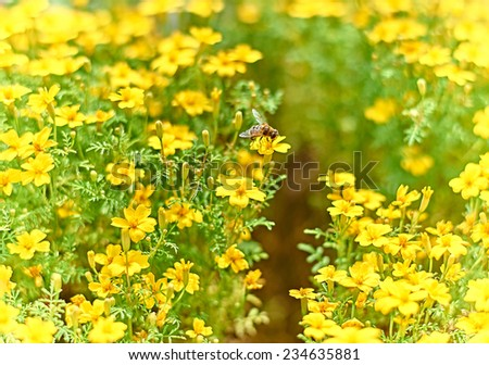 Bee and yellow flowers.Bee busy drinking nectar from the flower, yellow  flower with bee. close up - stock photo