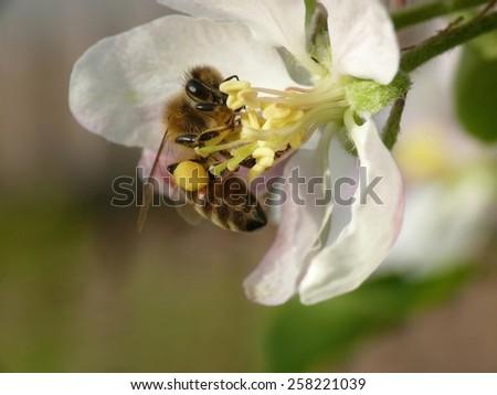 Bee (Apis) - stock photo