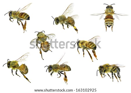 Bee (Apis mellifera). Variations isolated on the white background  - stock photo