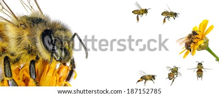 Bee (Apis mellifera). Variations isolated on the white background  - stock photo