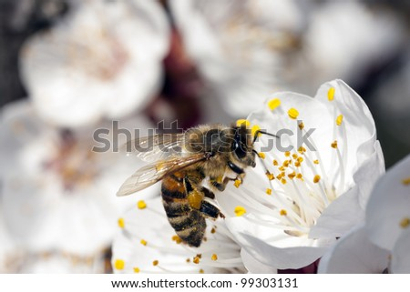 Bee Apis Mellifica - stock photo