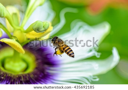Bee are flying over the exotic beautiful flower of Passiflora Foetida or Wild Maracuja for nectar and pollen