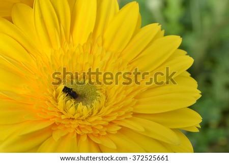 bee are sucking honey from yellow flowers. - stock photo
